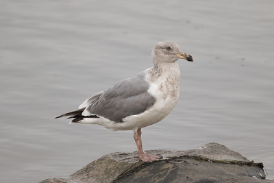 Northern Western Gull  Oceanside 2017-01 02-2.CR2