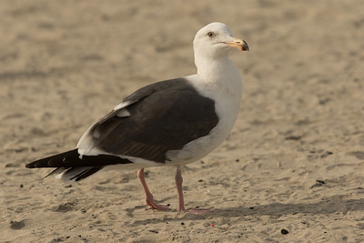 Western Gull Ponto Beach 2016 12 09-2.CR2