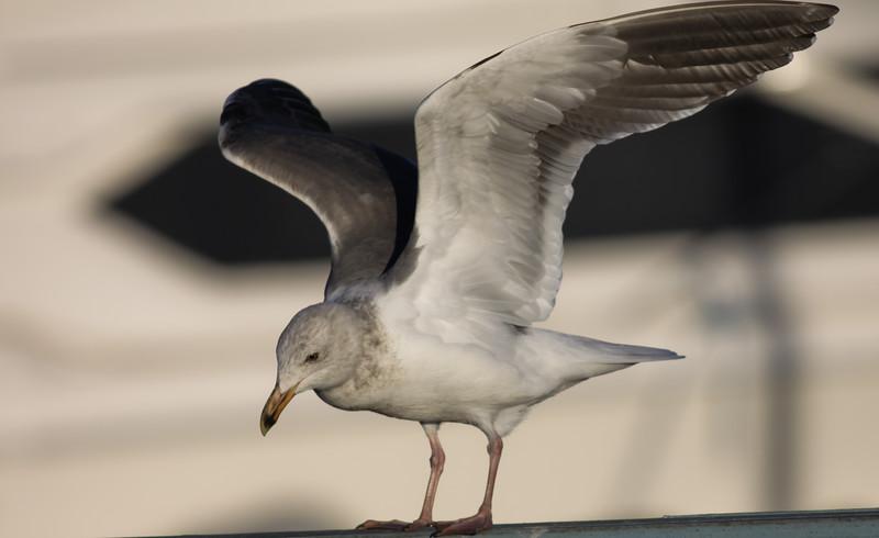 Western Gull Oceanside  2012 01 04 (1 of 2).JPG