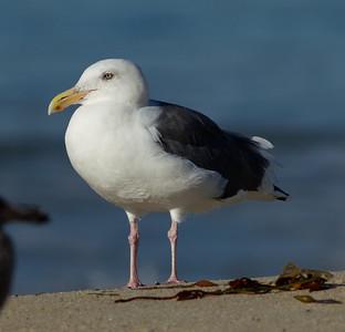 Western Gull Carlsbad 2013 11 14.CR2