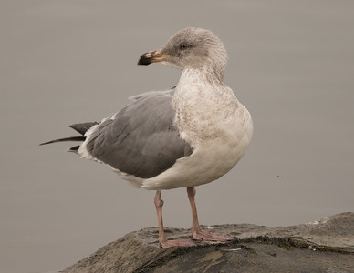 Northern Western Gull  Oceanside 2017-01 02-1.CR2