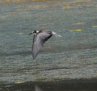 Black Tern  San Luis Rey River   Oceanside 2013 08 25 (8 of 9).CR2