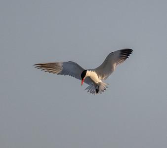 Caspian Tern Warm Lake near Crowley Lake 2021 06 21-1.CR3