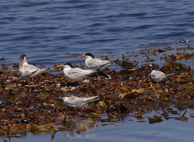 Common Tern San Diego waters 2009 07 09-1.jpg