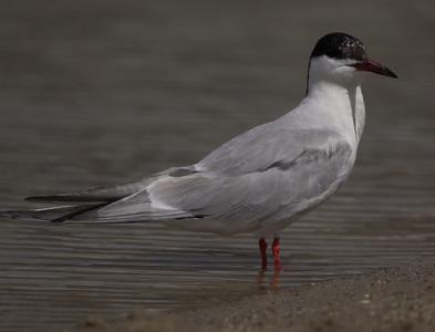 Common Tern Klondike Lake 2015 09 29-4.CR2