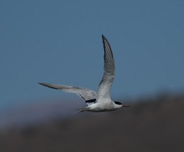 Common Tern Crowley Lake 2015 09 17-2.CR2