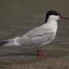 Common Tern Klondike Lake 2015 09 29-5.CR2