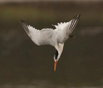 Elegant Tern  San Elijo Lagoon 2012 09 13 (3 of 6).CR2