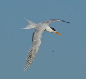 Elegant Tern  Cardiff Beach 2013 04 18 (1 of 2).CR2
