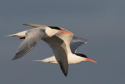 Elegant Tern San Elijo Lagoon 2020 05 11-2.CR2