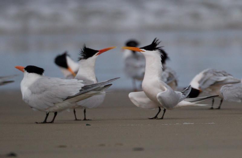 Elegant Tern  Camp Pendleton 2015 04 25-1.jpg
