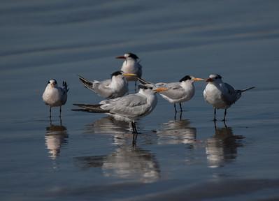 elegant Tern Royal Tern
