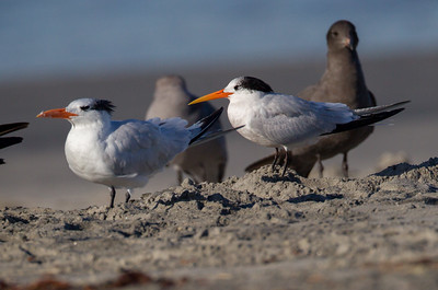 Elegant Tern Royal Tern  Oceanside 2014 10 29-1.CR2-1.CR2