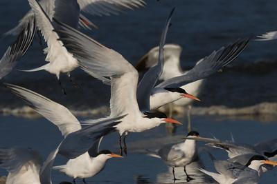 Elegant Tern San Elijo Lagoon 2020 05 11-6.CR2