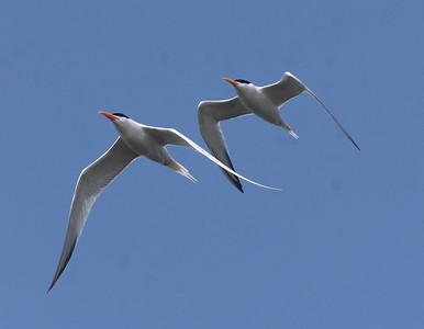 Elegant Tern Royal Tern Agua Hedionda 2021 4 12-218.CR3-1.CR3