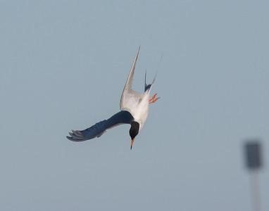 Forster`s Tern San Elijo Lagoon  2020 06 09-2.CR2