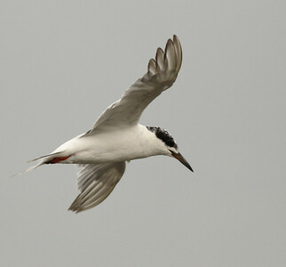 Forster`s Tern  Bolsa Chica Huntington Beach  California 2013 09 06 (1 of 1).JPG