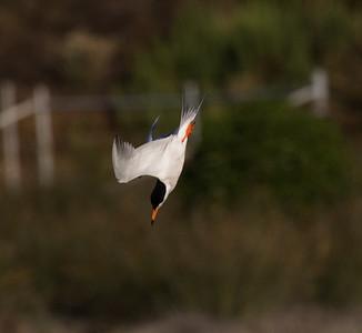 Forster`s Tern San Elijo Lagoon  2020 06 09-3.CR2