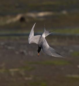 Forster`s Tern San Elijo Lagoon  2020 06 09-4.CR2