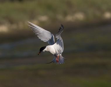 Forster`s Tern San Elijo Lagoon  2020 06 09-6.CR2