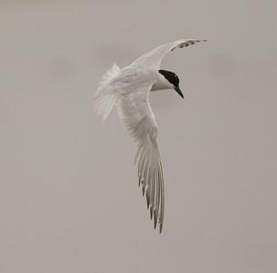 Gull-billed Tern Imperial Beach 2018 07 16-4.CR2