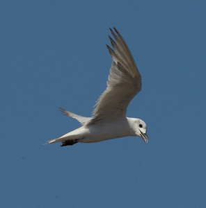 Gull-billed Tern  Salton Sea 2012 08 03 (2 of 7).CR2-4.CR2