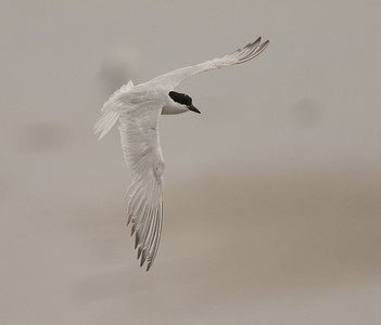 Gull-billed Tern Imperial Beach 2018 07 16-5.CR2