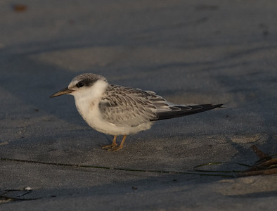 Least Tern Cardif Beach 2018 08 01-1.CR2