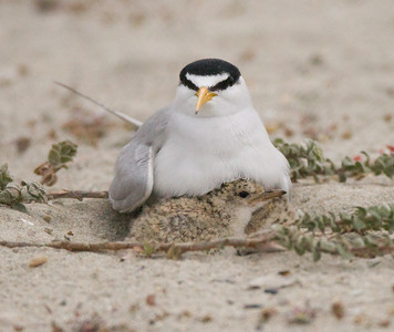 Least Tern Batiquitos Lagoon 2015 06 06-4.CR2