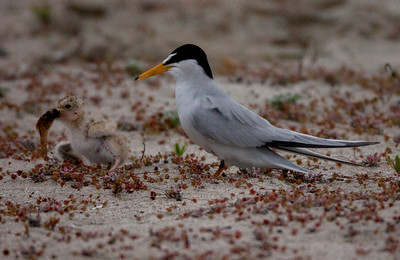 Least Tern Batiquitos 2015 06 06-6.CR2