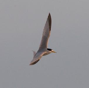 Least Tern Batiquitos Lagoon 2011 05 20-3.CR2