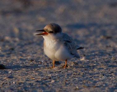Least Tern  Batiquitos Lagoon 2011 06 30-1.CR2