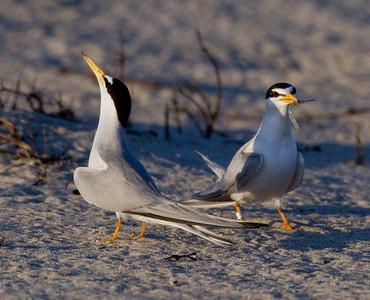 Least Tern  Batiquitos Lagoon 2011 06 30-3.CR2