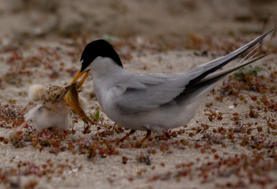 Least Tern Batiquitos 2015 06 06-5.CR2