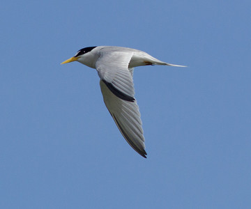 Least Tern  Camp Pendleton 2014 06 16-1.CR2