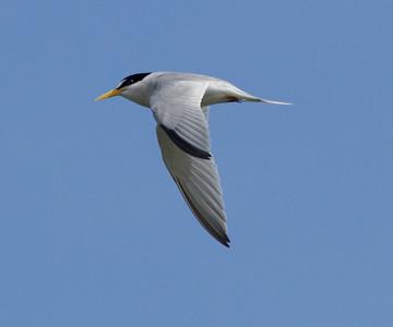 Least Tern  Camp Pendleton 2014 06 16-1.CR2