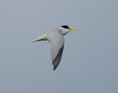 Least Tern Batiquitos Lagoon 2014 06 11-1.CR2