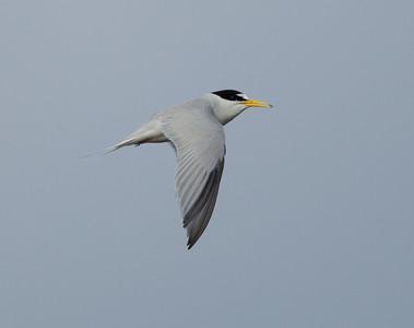 Least Tern Batiquitos Lagoon 2014 06 11-1.CR2