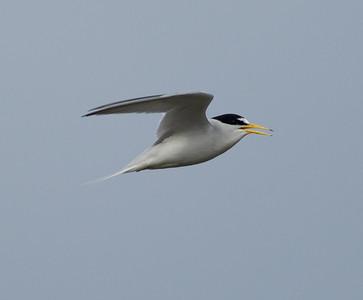 Least Tern Batiquitos Lagoon 2014 06 11-2.CR2