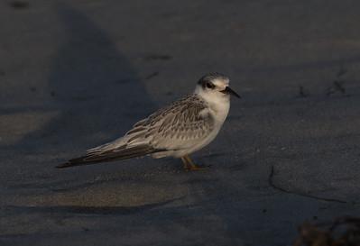 Least Tern Cardif Beach 2018 08 01-2.CR2