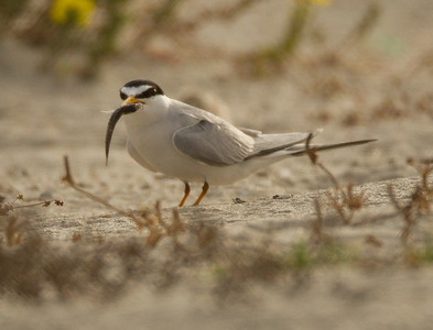 Least Tern Batiquitos Lagoon 2014 06 11-5.CR2