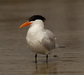 Royal Tern Cardiff Beach 2014 02 27-2.CR2