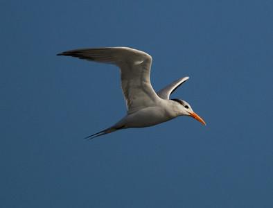 Royal Tern  Mission Bay 2013 12 06-1.dng