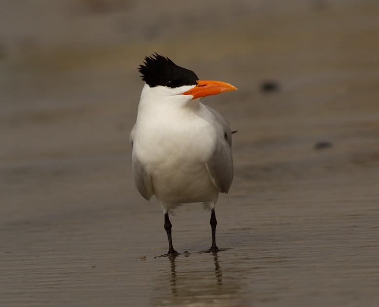 Royal Tern Cardiff Beach 2014 02 27-1.CR2