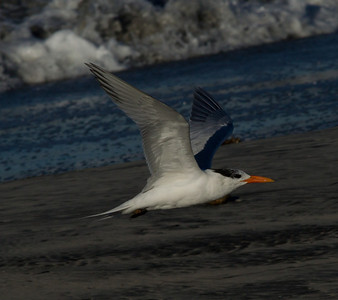 Royal Tern  Carlsbad 2011 12 24 (3 of 3).CR2