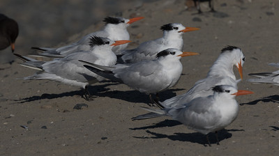 Royal Tern Ponto Beach 2019 11 09-1.CR2