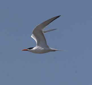 Royal Tern Agua Hedionda 2021 4 12-216.CR3