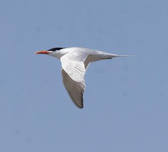 Royal Tern Agua Hedionda 2021 4 12-217.CR3