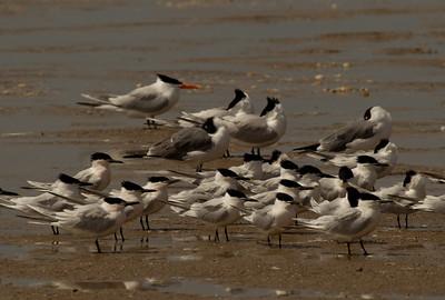 Sandwich Tern  South Padre Island Texas 2012 03 20-2345.CR2