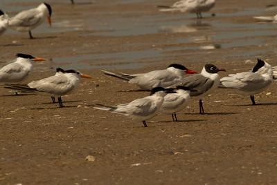 Sandwich Tern  South Padre Island Texas 2012 03 20-2335.CR2